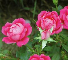 Knock Out Landscape Rose