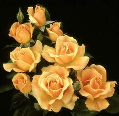 Bailey Roses