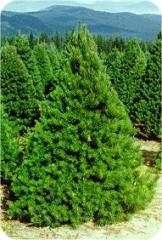 4' to 5' Scotch Pine Fresh Christmas