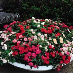 Roses - Shrub, Climbing, Floribunda,