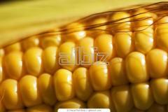 Corn - Maize - Waxy Dent Corn