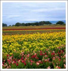 Calla Lilies (California Grown)