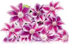 "Clematis – 2.5 and 3.5"" pots"