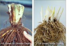 Perennials (US and Dutch Grown) – Bare Root