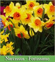 Narcissus & Daffodils