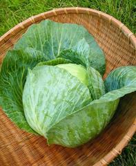 Bonnie Hybrid Cabbage