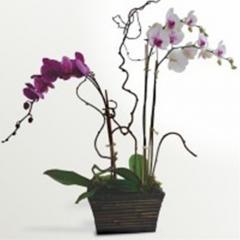 Colorful multi stemmed Phalaenopsis Orchid plant