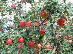 'Fuji' apples
