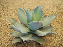 Agave potatorum plant