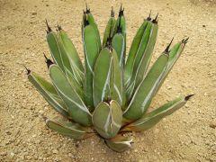 Agave ferdinand regis cactus