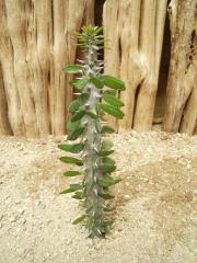 Alluaudia procera cactus