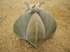 Astrophytum myriostigma (medium) plant