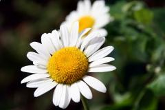 Chamomile, Roman 100% Pure Therapeutic Essential