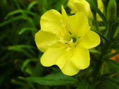 Evening Primrose Oil - UnRefined (Organic)