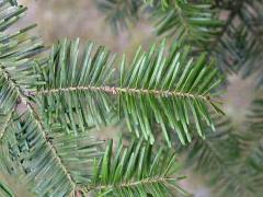 Fir Balsam (Balm of Gilead) Essential Oil