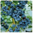 Wild Blueberry Infused Balsamic Vinegar
