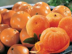 Treasure Coast Tangerines