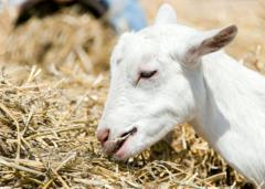 Goat 20 N Supplement
