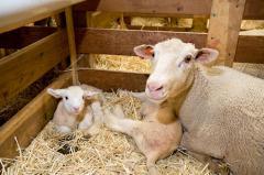 SmartLic Sheep16 Supplement