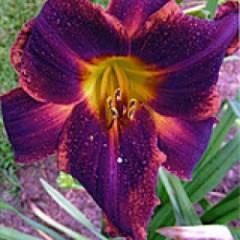 Assaouira Parent Flowers