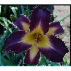 Purple Badger Daylily Seeds
