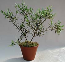 Multi-branch Arbequina Olive Tree