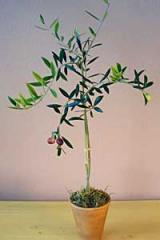 Single Trunk Olive Topiary