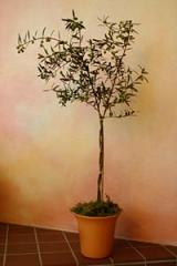 Arbequina Olive Tree Topiary