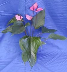 Anthurium Miss June
