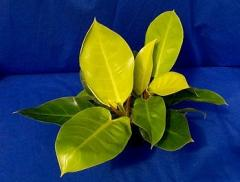 Philodendron x 'Moonlight'