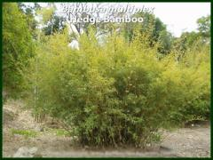 Bambusa Multiplex - Hedge Bamboo