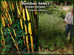 Fargesia Robusta Bamboo Select® - Green Screen™