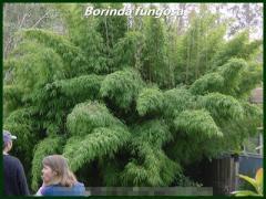Borinda Fungosa - Fungosa Bamboo