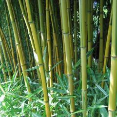 Phyllostachys Aureosulcata 'Lama Temple' Bamboo