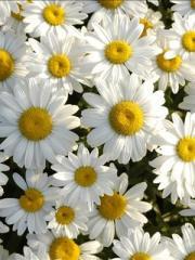 Leucanthemum X Superbum Snowcap Shasta Daisy
