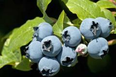 Duke Blueberry Plants