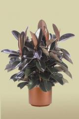 Burgundy Rubber Tree Bush