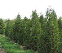 American Arborvitae (Thuja occidentalis)