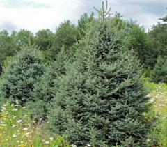 Meyers Spruce (Picea meyeri)
