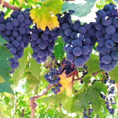Grapes from Shaw Orchards