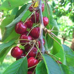 Cherries from Shaw Orchards