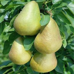 Pears from Shaw Orchards