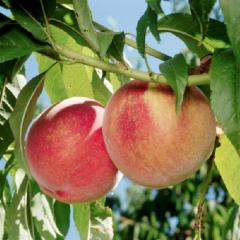 Peaches from Shaw Orchards