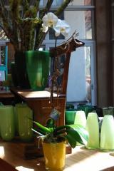 Bright Spring Phalaenopsis Orchid