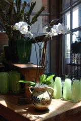 Elegant Phalaenopsis Orchid in Antique French Pot