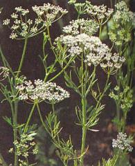 Anise (Pimpinella Anisum) 2,500 seeds