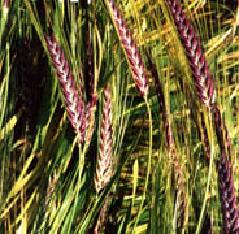 Barley Blackhart 500 seeds