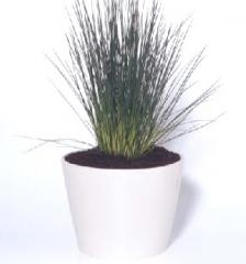 Blue Fescue - Festuca glauca 1,000 seeds