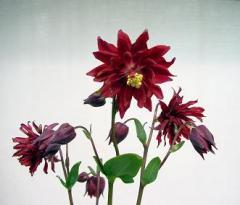 Aquilegia vulgaris Barlow Bordeaux Wine 250 seeds