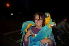 Approved pair of hyacinth macaw parrots available